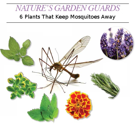 Kitchen trends to avoid 2014 - Guards 6 Plants That Keep Mosquitoes Away Home Trends Magazine